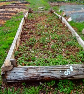 Here's our strawberry bed starting to come back but note that it's fashioned from old telephone poles....scavenged!