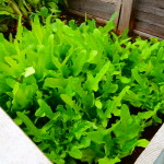 one of our lettuce patches!